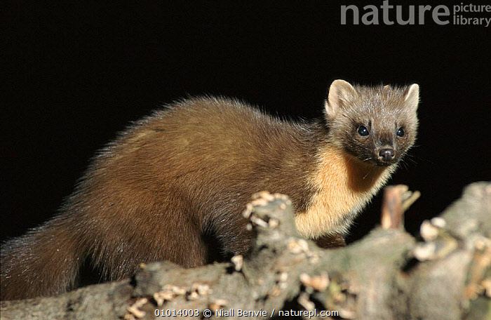 Pine Marten. Scotland  ,  MAMMALS,NIGHT,HORIZONTAL,EUROPE,NB,UK,PORTRAITS,SCOTLAND,UNITED KINGDOM,BRITISH,MUSTELIDS  ,  Niall Benvie