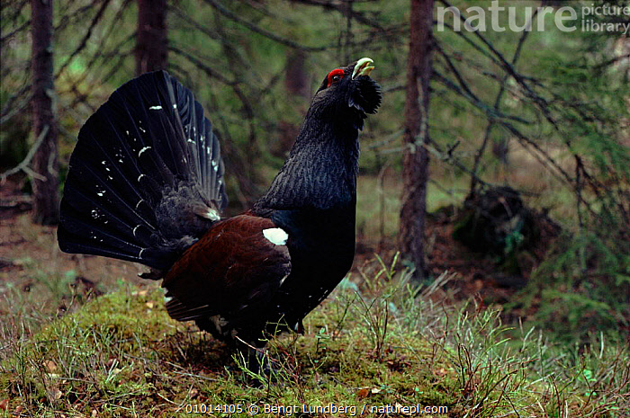 Capercaillie male displaying, Sweden  ,  BLU,SCANDINAVIA,DOMINANCE,BIRDS,HORIZONTAL,MALES,WOODLANDS,MATING BEHAVIOUR,DISPLAY,SWEDEN,EUROPE,REPRODUCTION,COMMUNICATION  ,  Bengt Lundberg