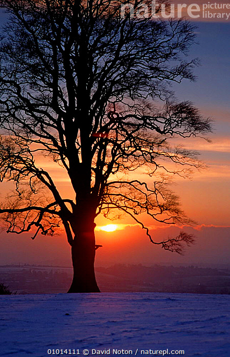 Sun setting behind tree silhouette, in winter at Dyrham Park, near Bath  ,  LANDSCAPES,SKY,SOMERSET,SUNSET,TREES,VERTICAL,Plants,ENGLAND,Europe  ,  David Noton