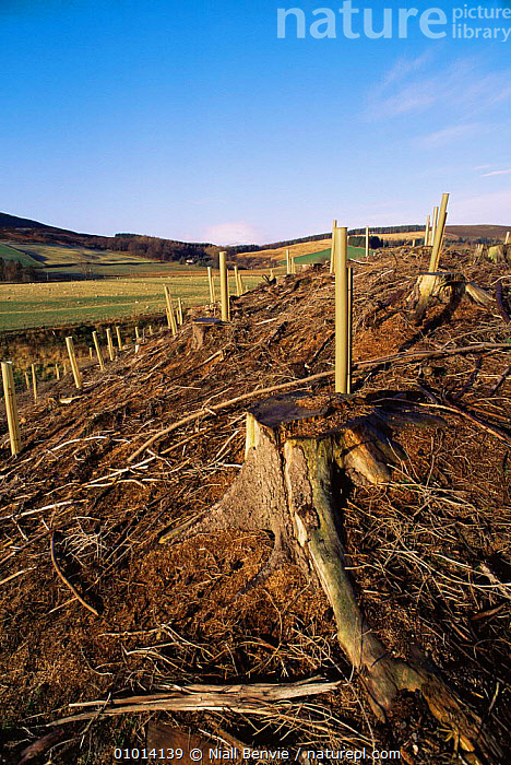 Replanting clear cut forest, Glen Isla, Scotland  ,  CONSERVATION,EUROPE,FORESTRY,SCOTLAND,TREES,UK,United Kingdom,Plants,British  ,  Niall Benvie