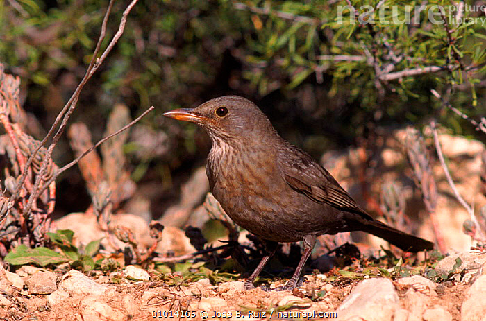 Blackbird female, Spain  ,  HORIZONTAL,BROWN,BIRDS,SPAIN,RR,FEMALE,PORTRAITS,EUROPE  ,  Jose B. Ruiz