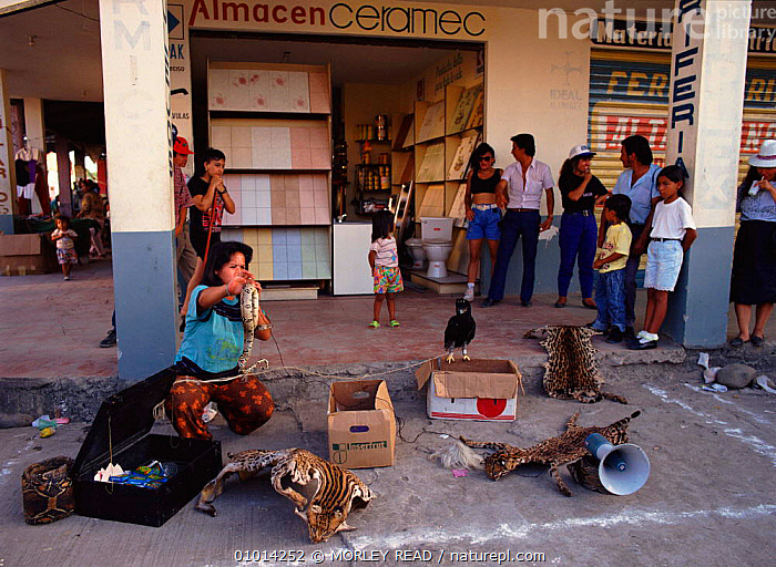 Jungle remedies for sale in Lago Agrio (oil town), Ecuador, South America  ,  DEATH,MEDICINE,REPTILES,SKINS,TRADE,SPOTTED,TOWN,CATS,CULTURES,LAGO,AGRIO,MAMMALS,SALE,TRADITIONAL,HORIZONTAL,CARNIVORES,JUNGLE,OIL,PEOPLE,REMEDIES  ,  MORLEY READ