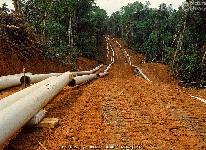 Laying pipeline for oil extraction in rainforest. Ecuador, South America  ,  ENERGY,FUEL,TROPICAL RAINFOREST,RAINFOREST,CRUDE OIL,LAYING,OIL,HORIZONTAL,PIPELINE,EXTRACTION,POLLUTION  ,  MORLEY READ