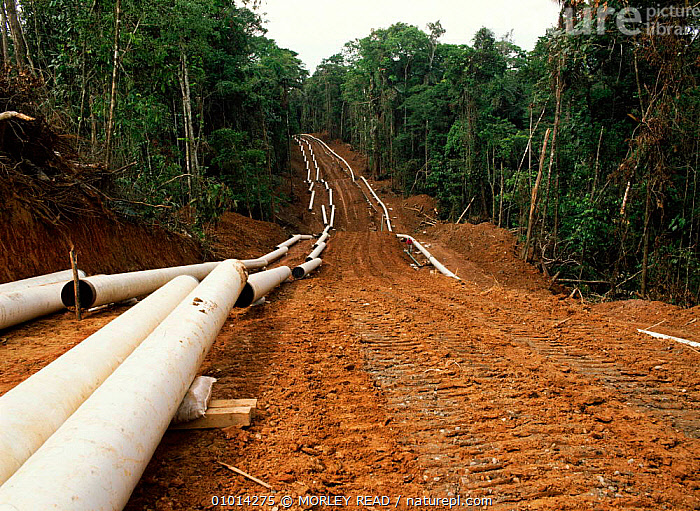Laying pipeline for oil extraction in rainforest, Ecuador  ,  OIL,RAINFOREST,HORIZONTAL,ROADS,EXTRACTION,DEFORESTATION,SOUTH,AMERICA,TROPICAL RAINFOREST,CRUDE OIL,PIPELINE,LANDSCAPES,LAYING,MR  ,  MORLEY READ