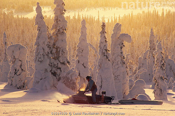 Man on snowmobile, going through snow covered trees, Finland  ,  Boreal,CONIFEROUS,EUROPE,FORESTS,LEISURE,MAN,PEOPLE,SCANDINAVIA,SNOW,Transport,Travel,TREES,WINTER,Plants, Europe  ,  Lassi Rautiainen