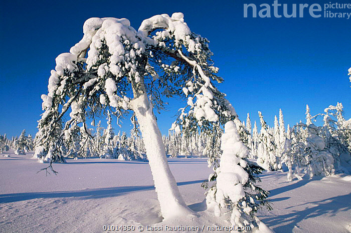 Snow covered pine, winter in boreal forest, Finland  ,  Boreal,EUROPE,FORESTS,LANDSCAPES,SCANDINAVIA,SNOW,TAIGA,WINTER, Europe  ,  Lassi Rautiainen