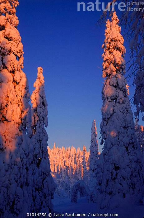 Winter in Finland - snow-covered trees  ,  CONIFEROUS,LR,PLANTS,SCANDINAVIA,SNOW,TAIGA,TREES,VERTICAL,WINTER, Europe  ,  Lassi Rautiainen
