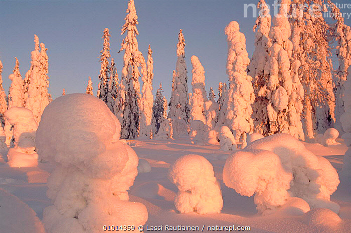Winter in Finland - snow covered trees  ,  CONIFEROUS,HORIZONTAL,LR,PLANTS,SCANDINAVIA,SNOW,TAIGA,TREES,WINTER, Europe  ,  Lassi Rautiainen
