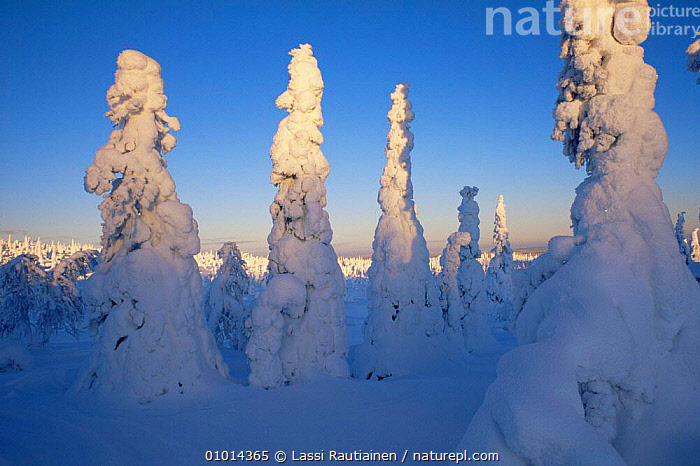 Snow covered conifers, winter hits the boreal forest, Finland  ,  Boreal,CONIFEROUS,CONIFERS,EUROPE,FORESTS,LANDSCAPES,SCANDINAVIA,SNOW,TAIGA,TREES,WINTER,Plants, Europe  ,  Lassi Rautiainen