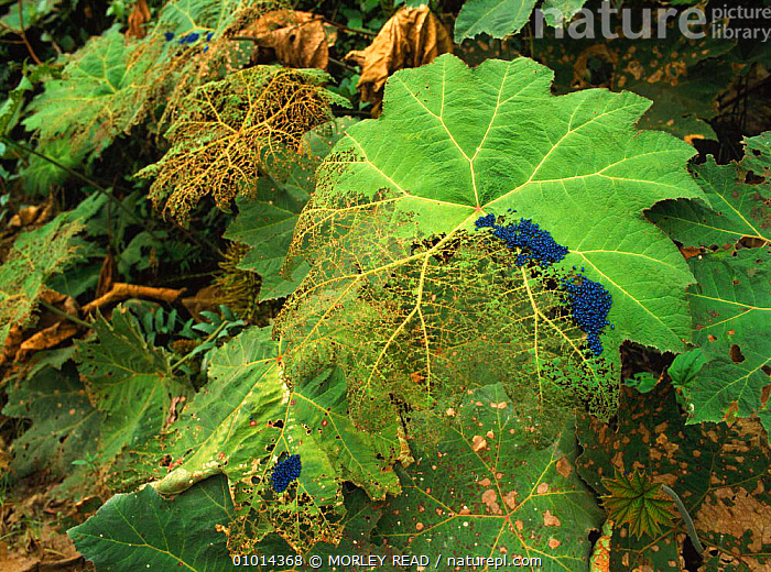 Beetles feeding on leaves of the Poor man's umbrella, Central and South America  ,  CENTRAL AMERICA,LEAVES,BEETLES,INSECTS,INVERTEBRATE,SOUTH AMERICA,TROPICAL RAINFOREST,DICOTYLEDONS,VERTICAL,HORIZONTAL,FEEDING,INVERTEBRATES  ,  MORLEY READ
