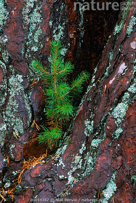 Scots Pine seedling {Pinus sylvestris} growing in crevice of trunk . Scotland.  ,  BARK,BRITISH,CLOSE UPS,EUROPE,GROWING,NB,PLANTS,SCOTLAND,SEEDLING,TREES,UK,UNITED KINGDOM,VERTICAL  ,  Niall Benvie