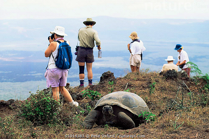 Giant Tortoise (Geochelone elephantopus) and tourists in the Galapagos Islands  ,  CHELONIA,GALAPAGOS,HOLIDAYS,LANDSCAPES,LEISURE,OLD,PEOPLE,REPTILES,SOUTH AMERICA,TORTOISES,TOURISM,VERTEBRATES,WILDLIFE,Concepts, Tortoises  ,  Pete Oxford