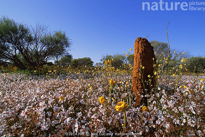 Termite (Isoptera) mound amongst everlasting flowers, Western Australia  ,  ARTHROPODS,AUSTRALIA,COLOURFUL,DESERTS,FLOWERS,HOMES,INSECTS,INTERESTING,INVERTEBRATES,ISOPTERA,LANDSCAPES,OUTSTANDING,TERMITES  ,  Neil Lucas