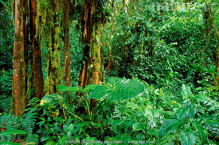 Sub tropical montane forest at 1,500m. Western. Andes, Ecuador  ,  AMERICA,ANDES,CLOUD,DIVERSITY,DWE,FOREST,GREEN,HORIZONTAL,LEAVES,MIXED SPECIES,OUTSTANDING,PLANTS,SOUTH,TROPICAL RAINFOREST  ,  Doug Wechsler