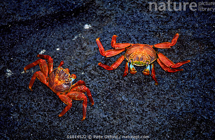 Sally Lightfoot Crabs, Galapagos Islands  ,  TWO,COASTS,ARTHROPODS,HORIZONTAL,MARINE,PO,RED,CRUSTACEANS,GALAPAGOS*,INVERTEBRATES  ,  Pete Oxford