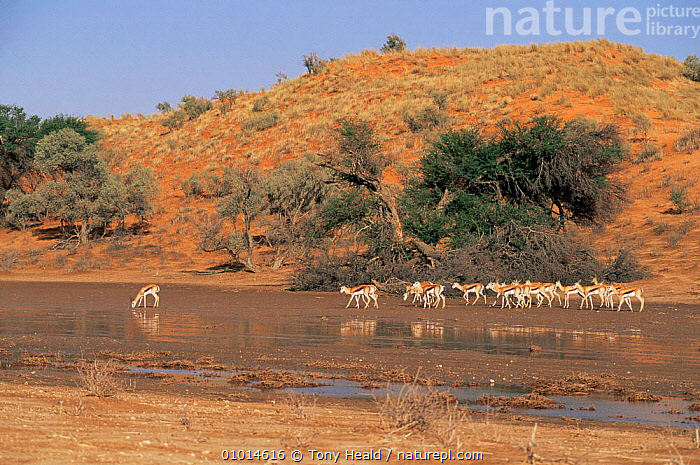 Springbok {Antidorcas marsupialis} in Auob riverbed after heavy rainfall. Kalahari NP, South Africa  ,  AFRICA,GROUPS,LANDSCAPES,MAMMALS,RESERVE,RIVERS,SOUTHERN AFRICA,WET SEASON  ,  Tony Heald