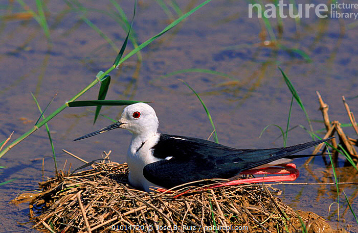 Black winged stilt on nest, Spain, Europe  ,  NESTING BEHAVIOUR,RR,FEMALES,EUROPE,HORIZONTAL,,BIRDS,WETLANDS,PARENTAL,NESTS,SPAIN ,WADING BIRDS,REPRODUCTION  ,  Jose B. Ruiz
