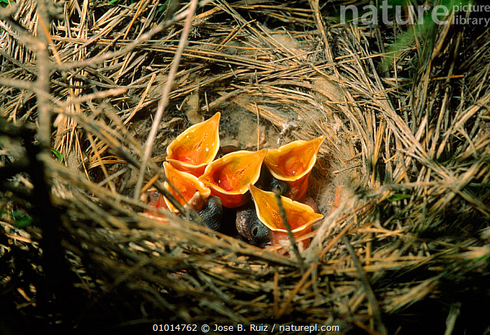 Rufous scrub robin (Rufous warbler) chicks (Erythropygia galactotes) in nest. Spain, Europe  ,  BABIES,BEAK,CHICKS,CONCEPTS,EUROPE,FEEDING,FIVE,GAPE,GROUPS,HORIZONTAL,HUMOROUS,NESTS,PASSERINES,SPAIN,VERTICAL,VOCALISATION,WARBLER,YOUNG  ,  Jose B. Ruiz