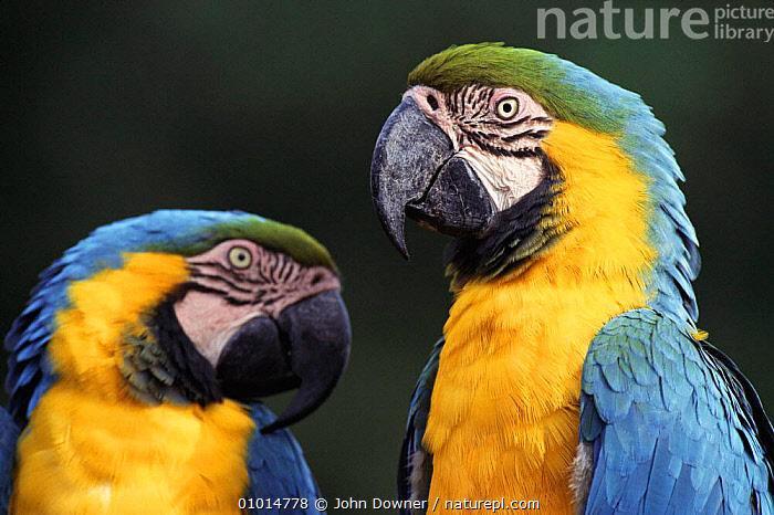 Blue and Green macaws (Ara ararauna). Native to Brazil, South America, BIRDS,CAPTIVE,COLOURFUL,HEADS,JD,MACAW,PARROTS,PORTRAITS,TWO,MACAWS, John Downer