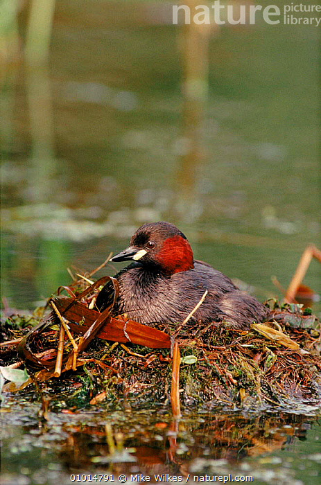 Little grebe on nest, England  ,  VERTICAL,ENGLAND,BIRDS,WETLANDS,NESTING BEHAVIOUR,EUROPE,MW,NESTS,WATERFOWL,UK,UNITED KINGDOM,REPRODUCTION,BRITISH , dabchick, United Kingdom  ,  Mike Wilkes