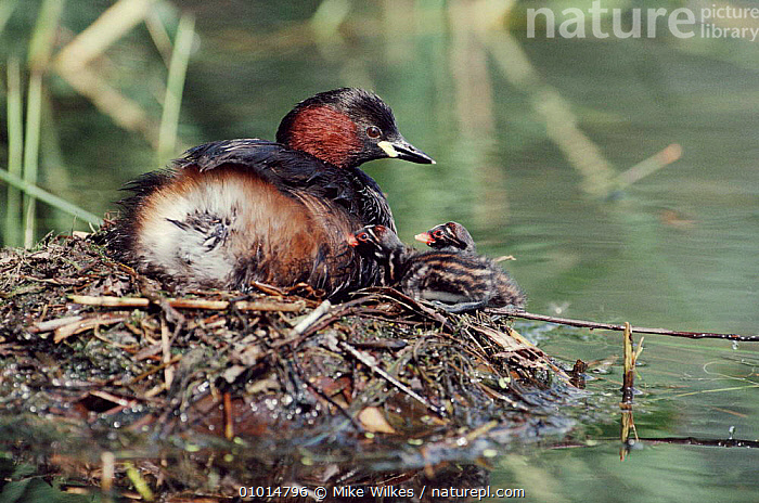 Little grebe at nest with chicks, England  ,  MW,NESTING BEHAVIOUR,BIRDS,PARENTAL,FAMILIES,HORIZONTAL,WETLANDS,NEST,WATER,ENGLAND,PORTRAITS,EUROPE,REPRODUCTION,WATERFOWL , dabchick  ,  Mike Wilkes