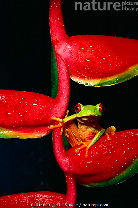 Red eyed treef rog on heliconia (Agalychnis callidryas) C  ,  AMPHIBIAN,AMPHIBIANS,CENTRAL AMERICA,COLOURFUL,TREEFROGS,FROGS,HELICONIA,OUTSTANDING,PNE,PORTRAIT,PORTRAITS,PSA,RAINFOREST,TROPICAL,TROPICAL RAINFOREST,VERTICAL  ,  Phil Savoie