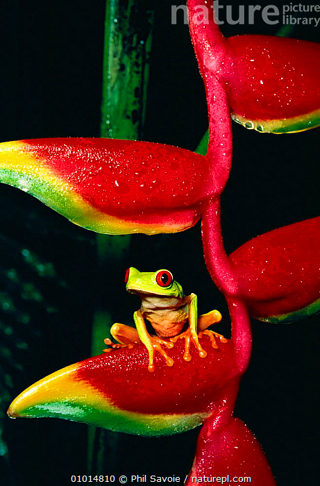 Red eyed tree frog on heliconia (Agalychnis callidryas)  ,  AMPHIBIAN,AMPHIBIANS,CENTRAL AMERICA,COLOURFUL,TREEFROGS,FROGS,HELICONIA,OUTSTANDING,PORTRAITS,PSA,RAINFOREST,TROPICAL,TROPICAL RAINFOREST  ,  Phil Savoie