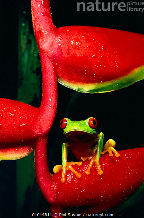 Red eyed tree frog on heliconia (Agalychnis callidryas)  ,  AMPHIBIAN,AMPHIBIANS,CENTRAL AMERICA,COLOURFUL,TREEFROGS,FROGS,GREEN,HELICONIA,ONE,OUTSTANDING,PORTRAIT,PORTRAITS,PSA,RAINFOREST,TROPICAL,TROPICAL RAINFOREST,VERTICAL  ,  Phil Savoie
