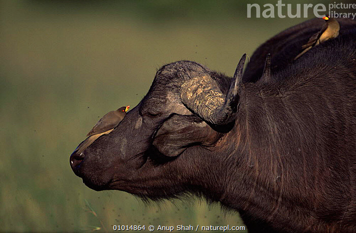 African Buffalo (Syncerus caffer) with oxpecker birds feeding on insects attracted to it, Masai Mara, Kenya  ,  ARTIODACTYLA,BIRDS,BOVIDS,BUFFALOS,EAST AFRICA,FRIENDSHIP,MAMMALS,MIXED SPECIES,OXPECKERS,SYMBIOSIS,VERTEBRATES,Africa,Concepts,Partnership,Cattle  ,  Anup Shah