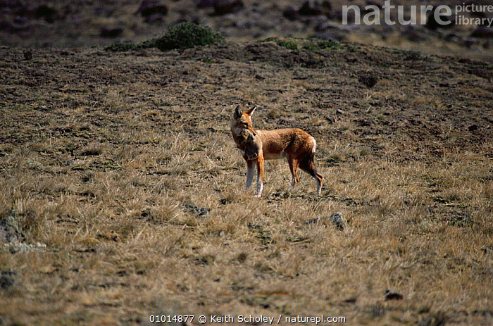 Simien Jackal / Ethiopian wolf (Canis simensis) Bali Mountains NP Ethiopia  ,  AFRICA,CARNIVORES,DOGS,EAST AFRICA,ENDANGERED,HIGHLANDS,KS,MAMMALS,MOUNTAINS,NP,PORTRAITS,NATIONAL PARK,CANIDS  ,  Keith Scholey