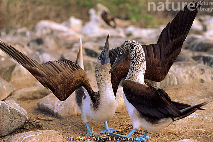 Blue footed booby 'skypointing' display, Galapagos Islands  ,  DISPLAY,SEABIRDS,FRIENDSHIP,PO,MALE FEMALE PAIR,COASTS,GALAPAGOS*,MATING BEHAVIOUR,BIRDS,HORIZONTAL,TWO,CONCEPTS,REPRODUCTION,COMMUNICATION  ,  Pete Oxford