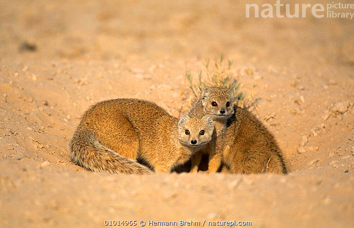 Yellow Mongoose pair at burrow (Cynictis penicillata) Namibia  ,  CARNIVORES,CUTE,DESERTS,FRIENDSHIP,MAMMALS,MONGOOSES,SOUTHERN AFRICA,VERTEBRATES,Concepts  ,  Hermann Brehm