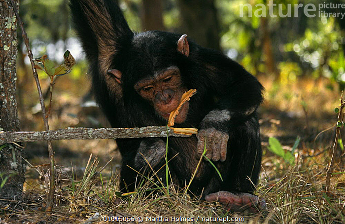 Young chimp chewing bark off stick (Pan troglodytes)  Chimfunshi Rehabilitation Centre, Zambia  ,  BARK,ENDANGERED,GREAT APES,JUVENILE,MAMMALS,PRIMATES,REHABILITATION,SOUTHERN AFRICA,VERTEBRATES,Plants  ,  Martha Holmes