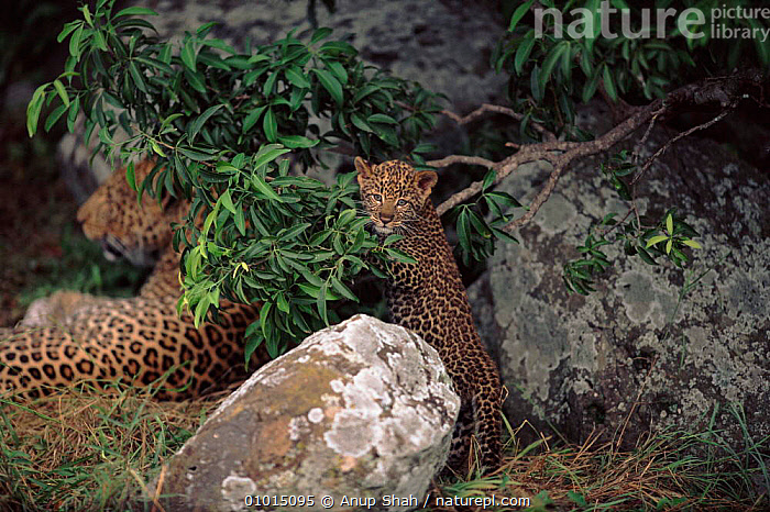 Young leopard playing next to mother, Masai Mara, Kenya  ,  MAMMALS,FAMILIES,CUTE,KENYA,CATS,AS,CARNIVORES,MARA,HORIZONTAL,JUVENILE,MASAI,OUTSTANDING,AFRICA,BABIES,BIG,EAST AFRICA,LEOPARDS,BIG CATS  ,  Anup Shah