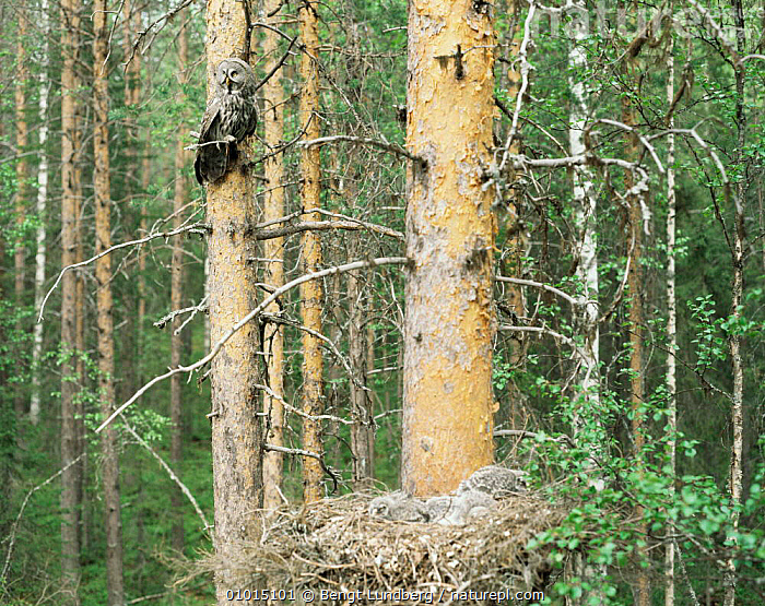 Great Grey Owl (Strix nebulosa) parent perched in coniferous tree next to nest with chicks, Sweden  ,  BABIES,BIRDS,BIRDS OF PREY,BOREAL FOREST,CONIFEROUS,EUROPE,FAMILIES,HOMES,LANDSCAPES,OWLS,SWEDEN,VERTEBRATES,Scandinavia,Raptor  ,  Bengt Lundberg