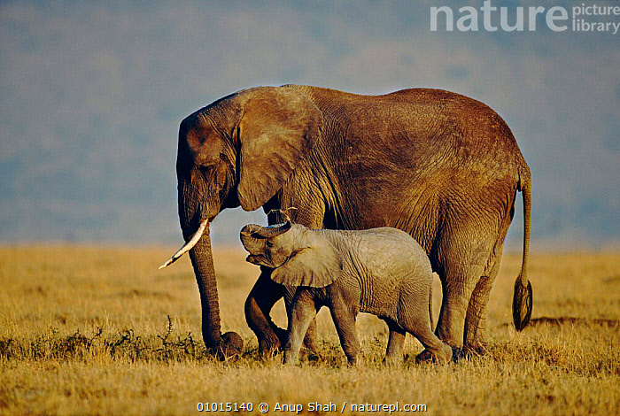 African elephant mother with calf. (Loxodonta africana) East Africa  ,  AFFECTIONATE,AFRICA,BABIES,CUTE,EAST AFRICA,ELEPHANTS,FAMILIES,MAMMALS,OUTSTANDING,PROBOSCIDS,PROFILE,SAVANNA,GRASSLAND,CONCEPTS  ,  Anup Shah