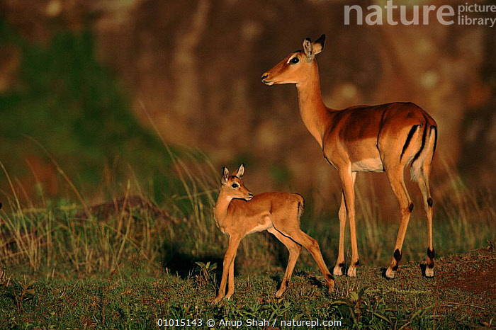 Imapla with young fawn, East Africa  ,  AFRICA,SAVANNA,EAST AFRICA,OUTSTANDING,FAWN,MAMMALS,AS,CUTE,BABIES,FAMILIES,HORIZONTAL,GRASSLAND,ANTELOPES  ,  Anup Shah