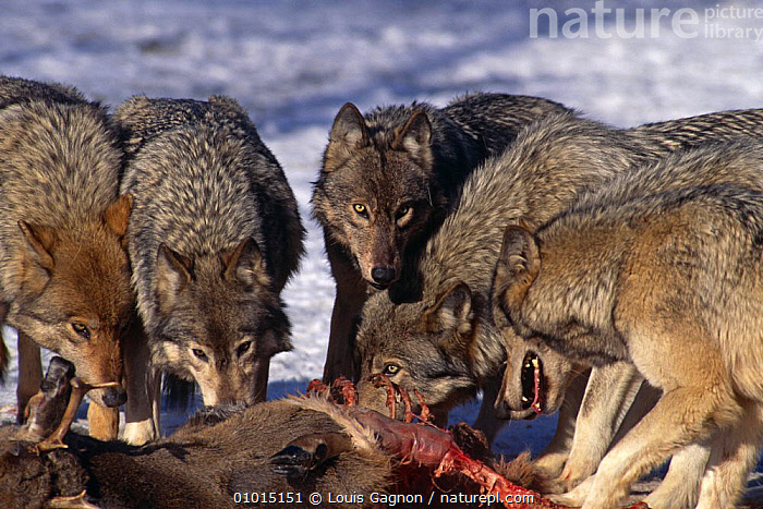 Grey wolf {Canis lupus} pack feeding on White  tailed deer carcass, captive, Canada Wolf Reserve  ,  CANADA,CANIDS,CARCASS,CARNIVORES,CONSERVATION,DEER,EATING,FEEDING,GROUPS,INTERESTING,MAMMALS,NORTH AMERICA,PACKS,RESERVE,VERTEBRATES,WOLVES,Dogs  ,  Louis Gagnon