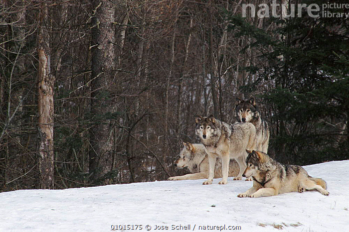 Grey Wolves, Canada.  ,  CANADA,HORIZONTAL,MAMMALS,FRIENDSHIP,CAPTIVE,JS,CARNIVORES,WOODLANDS,SNOW,WINTER,GROUPS,LANDSCAPES,NORTH AMERICA,CONCEPTS,DOGS,CANIDS  ,  Jose Schell
