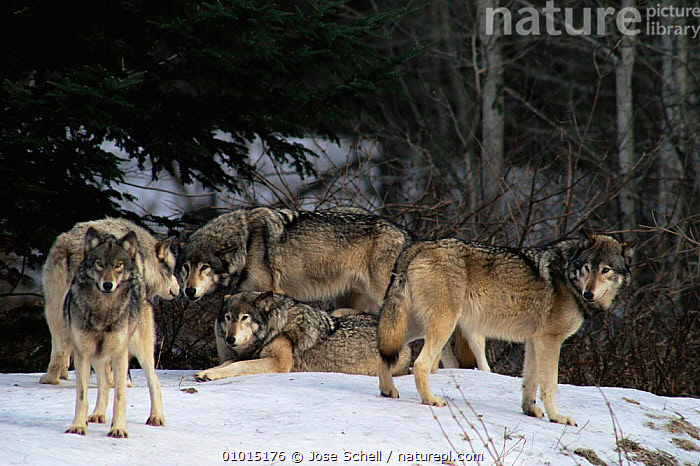 Grey Wolf pack (Canis lupus) captive at Wolf Reserve, Canada  ,  CANADA,CANIDS,CARNIVORES,FRIENDSHIP,GROUPS,MAMMALS,RESERVE,VERTEBRATES,WOLVES,North America,Concepts,Dogs  ,  Jose Schell