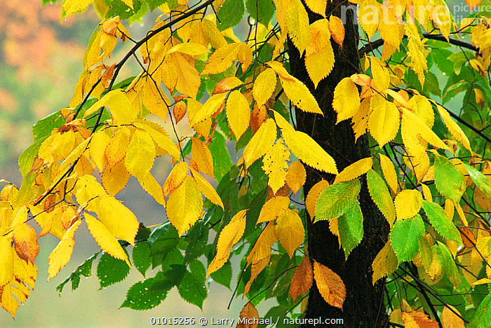 Leaves beginning to change colour in Autumn, Wisconsin, USA  ,  AUTUMN,deciduous,LEAVES,NORTH AMERICA,Seasonal,TREES,USA,YELLOW,Plants  ,  Larry Michael