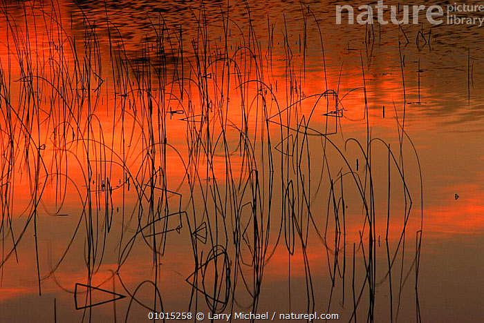 Reeds reflected in pond at sunset, Lake Henrietta, Wisconsin, USA  ,  ARTY SHOTS,NORTH AMERICA,RED,SILHOUETTES,SUNSET,USA  ,  Larry Michael