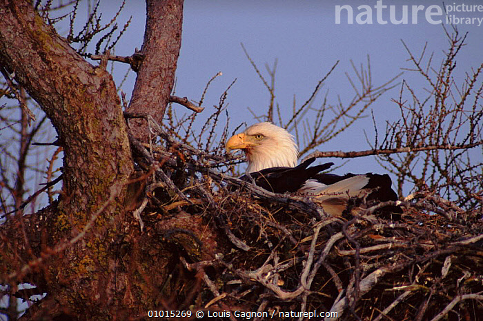 Female Bald Eagle sitting on eggs, Anticosti Island, Canada, HORIZONTAL,INCUBATING,BIRDS,NEST,,CANADA,LG,ANTICOSTI,NESTING BEHAVIOUR,TREE,FEMALES ,BIRDS OF PREY,NORTH AMERICA,REPRODUCTION,EAGLES,RAPTOR, Louis Gagnon
