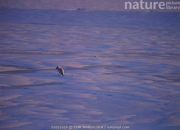 Arctic fox in icy landscape, Hudson Bay, Canada.  ,  CANADA,CARNIVORES,FOXES,HABITAT,ICE,ONE,MAMMALS,WINTER,NORTH AMERICA,DOGS,CANIDS  ,  TOM MANGELSEN