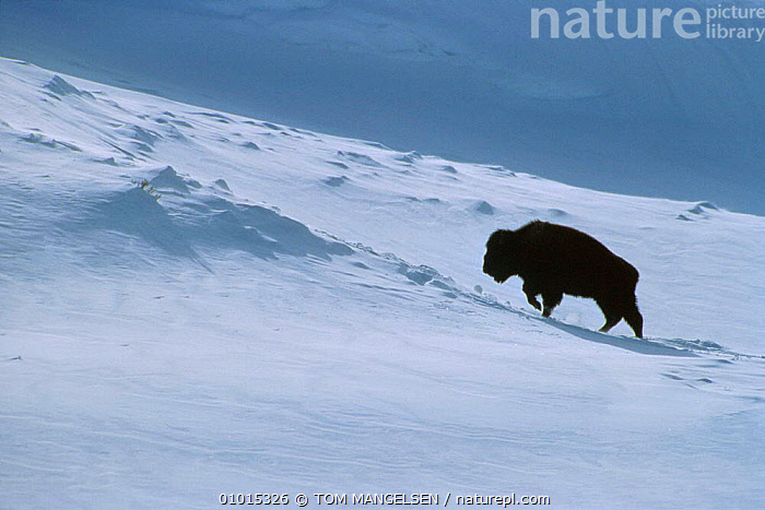 Bison in snow, Wyoming, USA. (Bison bison) Yellowstone NP.  ,  ATMOSPHERIC,BUFFALOES,BUFFALOS,LANDSCAPES,MAMMALS,NP,USA,WINTER,North America,National Park,Cattle  ,  TOM MANGELSEN