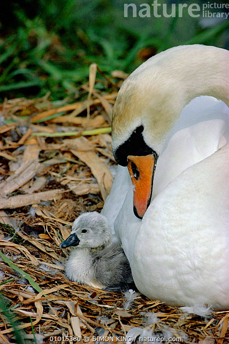 Mute swan female at nest with newly hatched chick (Cygnus olor) England, UK  ,  AFFECTIONATE,BABIES,BABY,BEHAVIOUR,BIRDS,CHICKS,CUTE,ENGLAND,FAMILIES,FEMALES,MOTHER,NESTS,PARENTAL,SK,SWANS,UK,VERTICAL,WATERFOWL,WHITE,EUROPE,UNITED KINGDOM,CONCEPTS,BRITISH,WILDFOWL, Waterfowl,GettyBOV  ,  SIMON KING