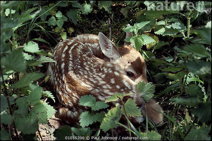 Fallow deer fawn lies camouflaged in nettles. England  ,  BABIES,BRITISH,CAMOUFLAGE,ENGLAND,EUROPE,HIDING,HORIZONTAL,JUVENILE,MAMMALS,NETTLES,PJ,UK,UNITED KINGDOM,GettyBOV  ,  Paul Johnson