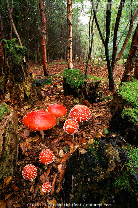 Fly agaric (Amanita muscaria) in woodland setting.  ,  AUTUMN, PORTRAITS, VERTICAL, WOODLANDS, AMANITACEAE, EUROPE, FUNGI, FUNGUS, PLANTS, POISONOUS, RED, UK,United Kingdom  ,  Brian Lightfoot