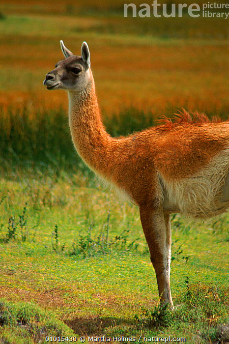 Guanaco portrait, Torres del Paine NP, Chile  ,  AMERICA,CHILE,DEL,HIGHLANDS,MAMMALS,MH,NATIONAL PARK,NP,PAINE,PORTRAIT,PORTRAITS,PROFILE,SOUTH,SOUTH AMERICA,TORRES,VERTICAL  ,  Martha Holmes