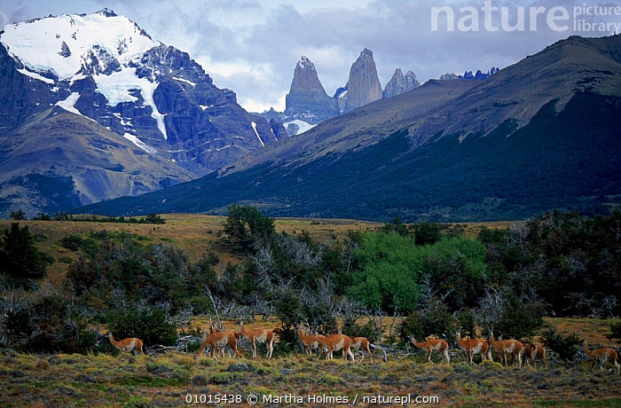Guanaco herd in Torres del Paine National Park, Chile  ,  CHILE,LANDSCAPES,TORRES,SOUTH AMERICA,HORIZONTAL,NP,GROUPS,MOUNTAINS,RESERVE,ALPINE,NATIONAL PARK  ,  Martha Holmes